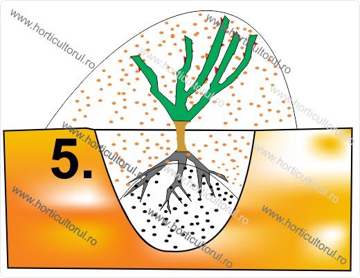 Fig. II  Musuroirea trandafirului plantat