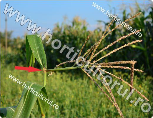 Fig. 10 Sfredelitorul porumbului pe ardei (Ostrinia nubilalis), panicul frant