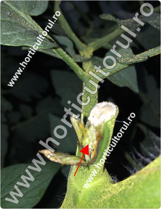 Tantarul-Musculita tomatelor-Lasioptera