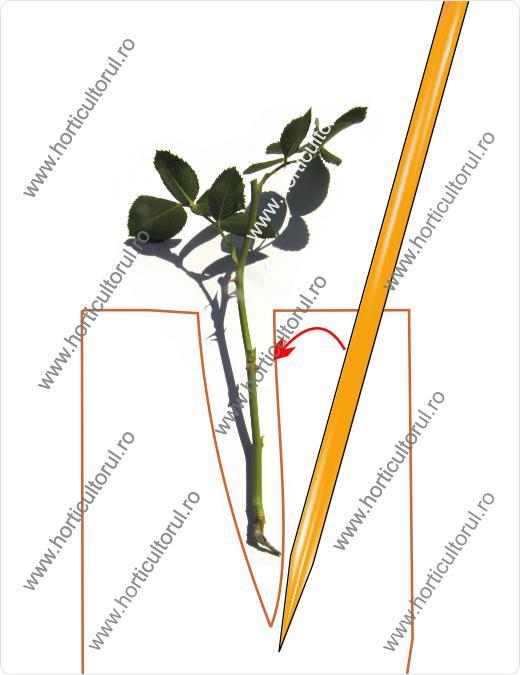 plantarea butasilor de trandafiri