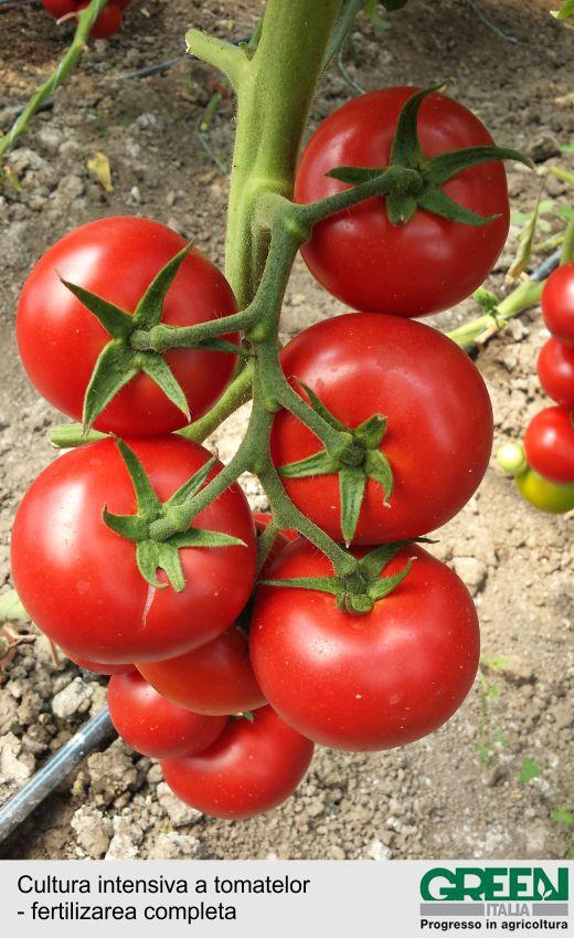 Cultura intensiva a tomatelor - fertilizarea completa-2