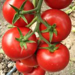 Cultura intensiva a tomatelor
