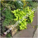 Cum obtinem Batatul ornamental pentru ghivece & gradini