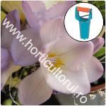 Plantarea bulbilor de Frezie primavara