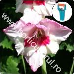 Plantarea bulbilor - de Gladiole
