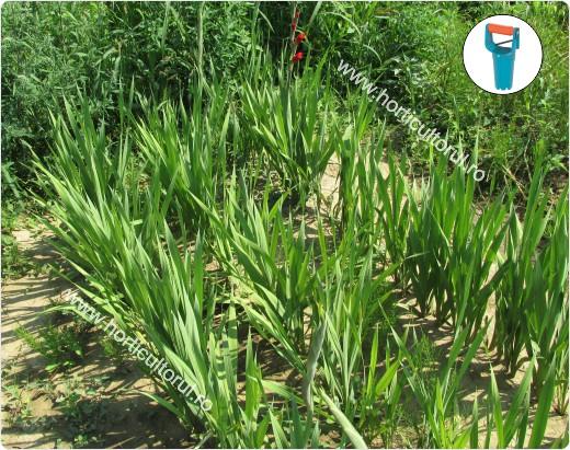 Plantarea bulbilor - de Gladiole_2