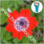 Plantarea bulbilor de anemone primavara-toamna