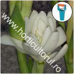 Plantarea bulbilor de tuberoze