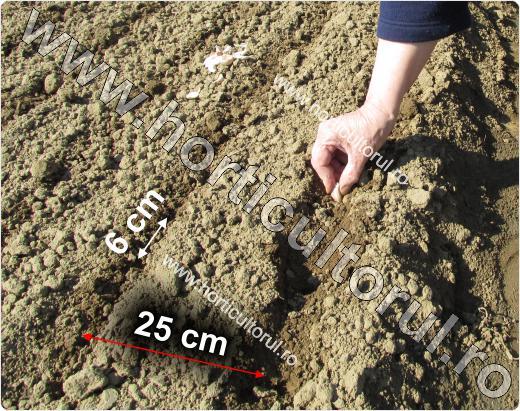 Plantarea usturoiului primavara in gradina