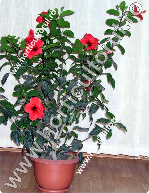 Taierea trandafirului japonez - chinezesc_1