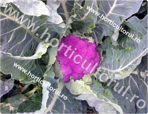 Conopida mov-violet-Depurple F1