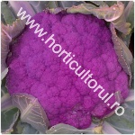 Conopida mov-violet_1