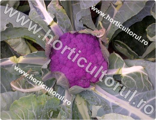 Conopida mov-violet