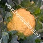 Conopida portocalie_1