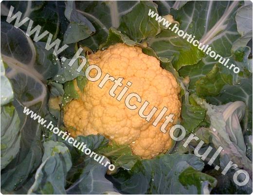 Conopida portocalie_2