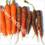 Cultivarea morcovului violet-mov