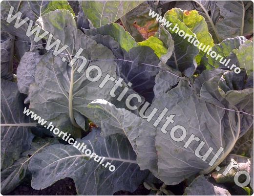 Cultura de Conopida -Primavara-legat frunze