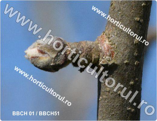 Fenofazele Marului_BBCH 01 & 51