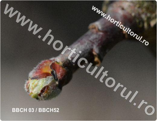 Fenofazele Marului_BBCH 03 & 52