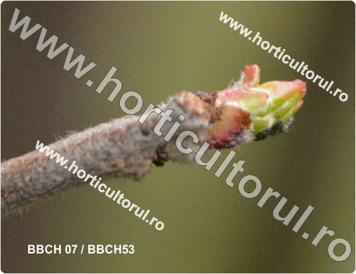 Fenofazele Marului_BBCH 07 & 53