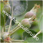 Fenofazele Marului_dezvoltarea fructelor repaus vegetativ