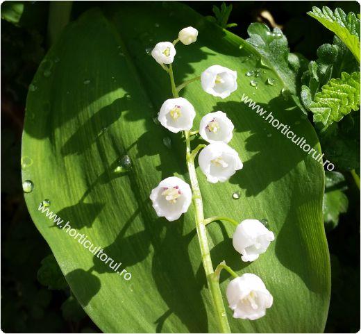 Lacramioara, Margaritarul (Convallaria majalis): ingrijire, inmultire