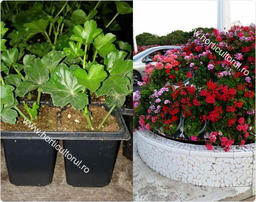 Tehnologia completa pentru obtinerea muscatelor (Pelargonium/Geranium) din seminte