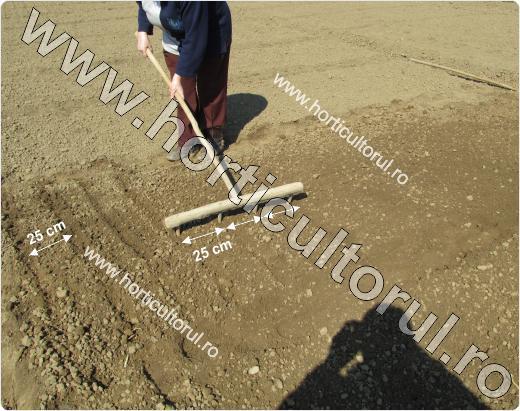 Plantarea arpagicului primavara in gradina si camp