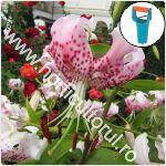Plantarea bulbilor de Crini