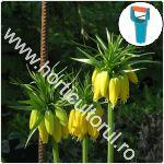 Plantarea bulbilor de Fritillaria_1