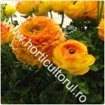 Plantarea bulbilor-de Ranunculus_1