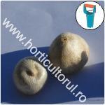 Plantarea bulbilor de Sparaxis-1