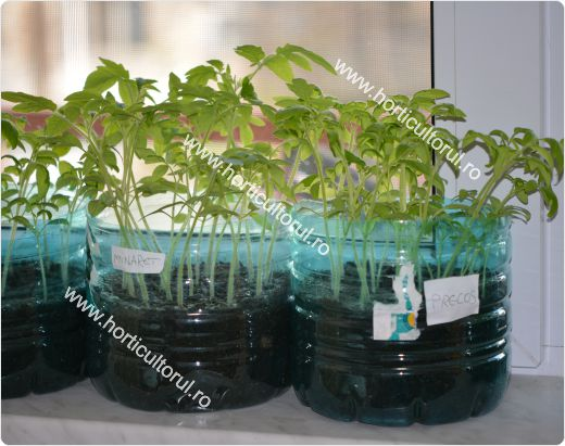 Producerea rasadurilor de tomate in apartament