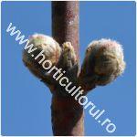 Ramurile de rod la piersic-nectarin_1