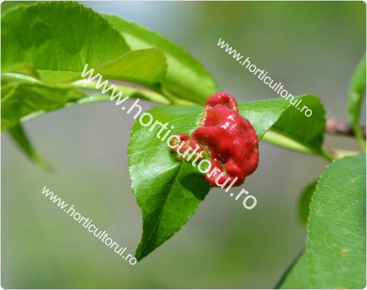 Tratamente pentru Basicarea frunzelor la Piersic-Nectarin