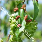 Tratamente pentru Basicarea frunzelor la Piersic & Nectarin