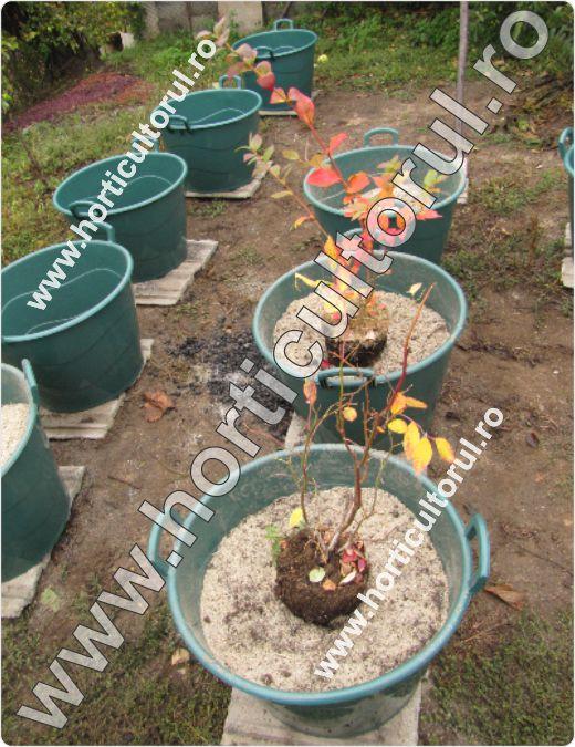 Plantarea afinului la ghiveci
