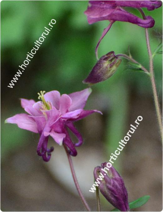 Caldarusa-Aguilegia vulgaris-2