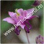 Caldarusa-Aguilegia vulgaris_1