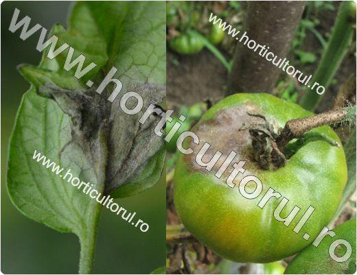 Cum prevenim Mana la tomate_2