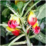 Planta Papagal-Impatiens niamniamensis_1