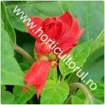 Salvia rosie-Salvia splendens