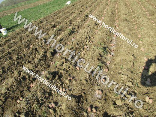 plantarea cartofului-in camp-gradina