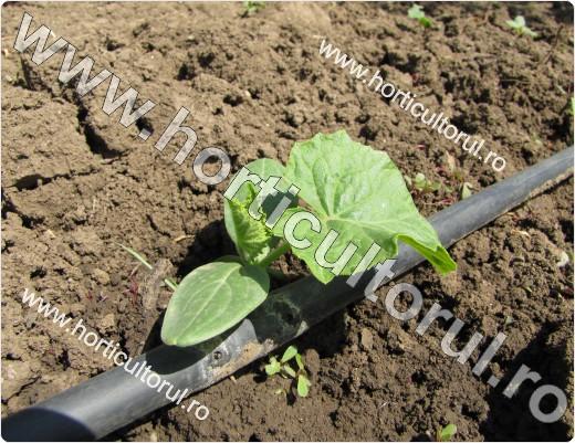 Cultivarea castravetilor in gradina - infiintarea culturii prin semanat direct