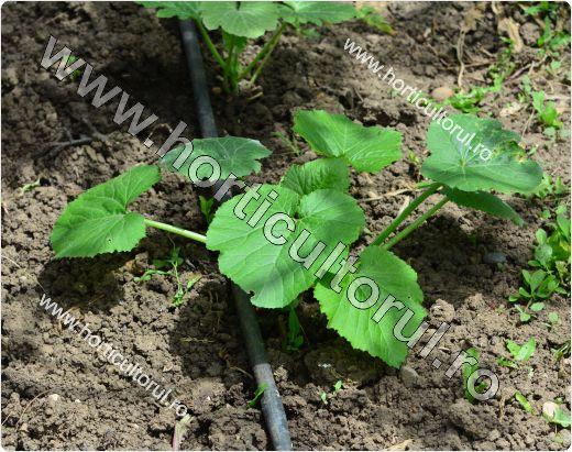 Cultivarea dovleceilor - infiintarea culturii in gradina-2