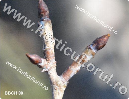 Fenofazele Parului_BBCH 00