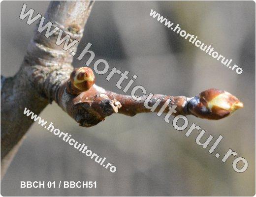 Fenofazele Parului_BBCH 01-51