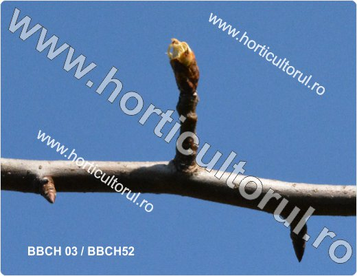 Fenofazele Parului_BBCH 03-52