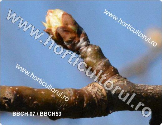 Fenofazele Parului_BBCH 07-53
