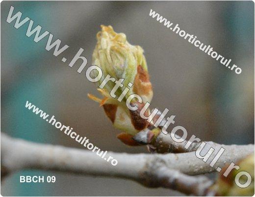 Fenofazele Parului_BBCH 09